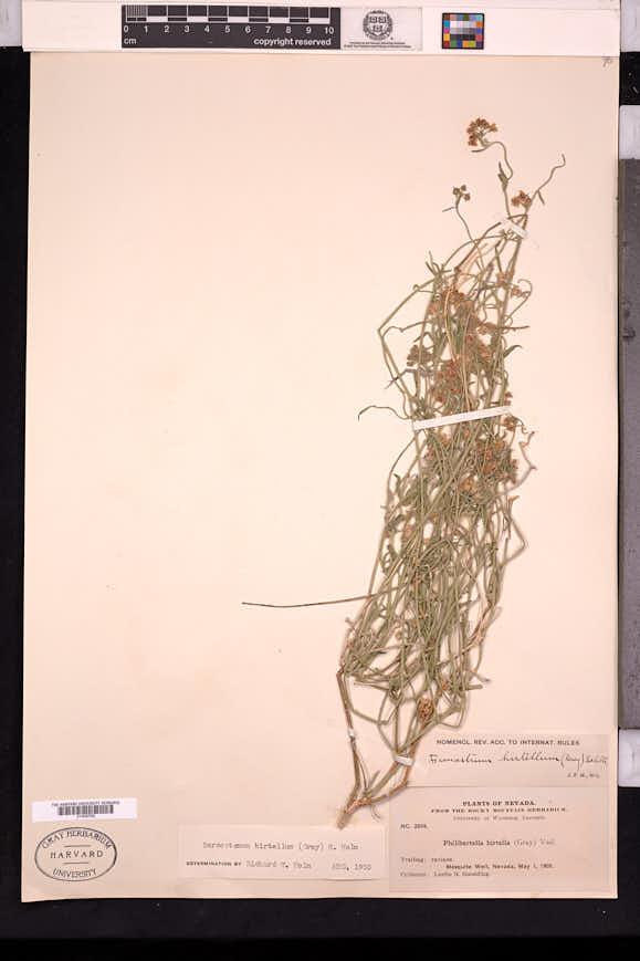 Funastrum hirtellum image