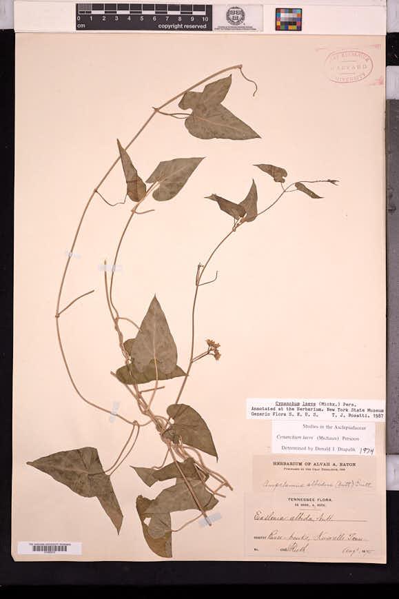 Cynanchum laeve image