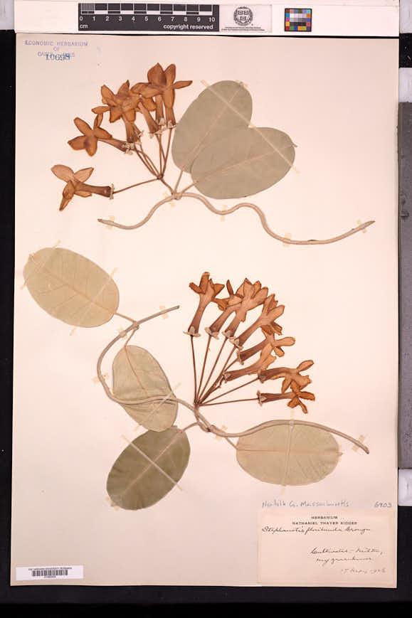 Marsdenia floribunda image