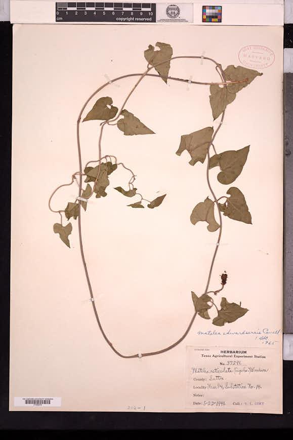 Image of Matelea edwardsensis
