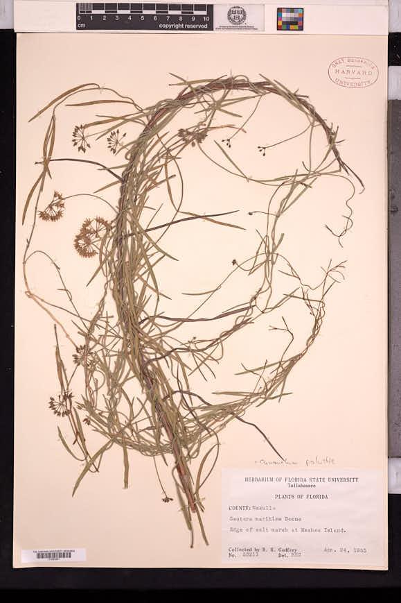 Seutera angustifolia image