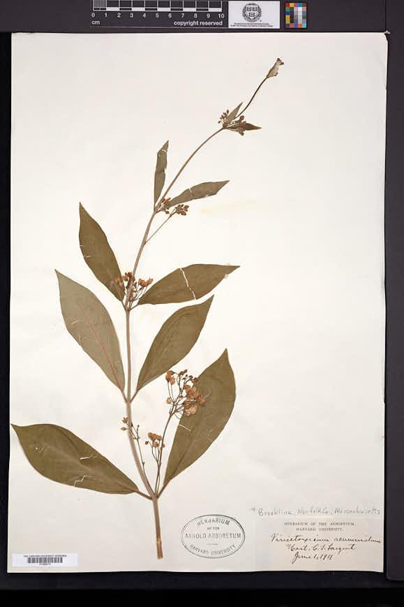 Vincetoxicum acuminatum image