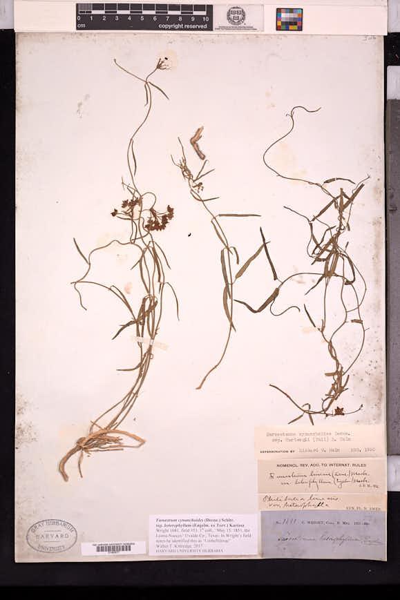 Sarcostemma cynanchoides subsp. hartwegii image