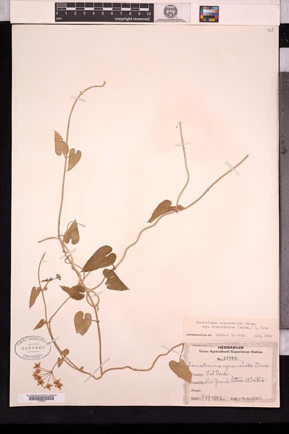 Funastrum cynanchoides image