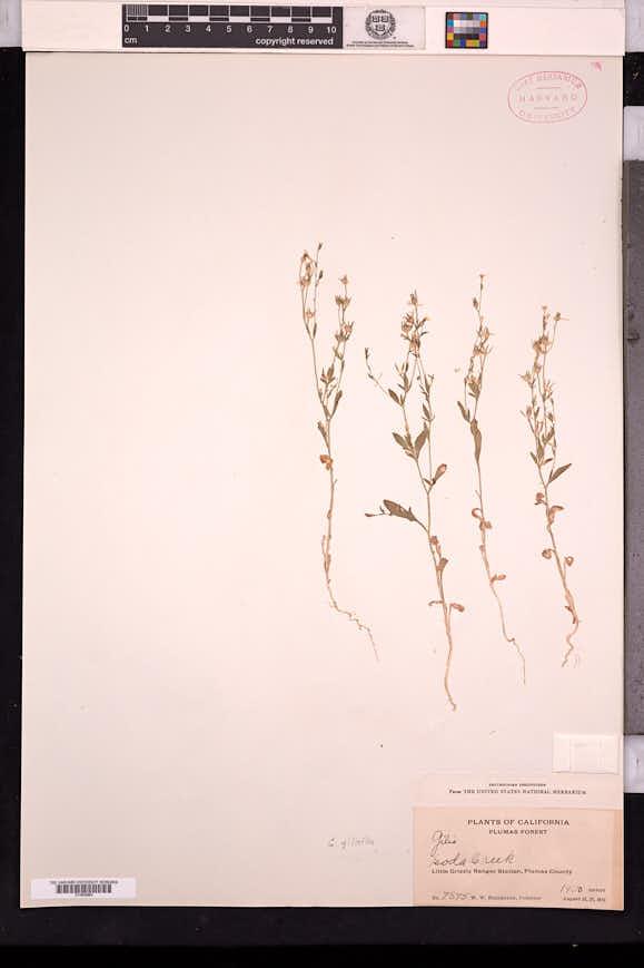 Allophyllum gilioides image