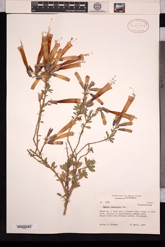 Cantua buxifolia image