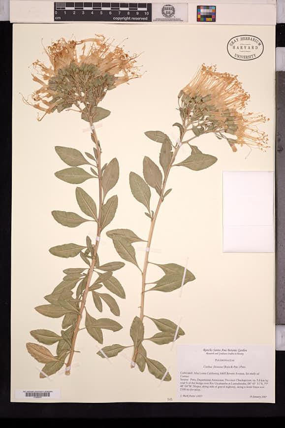 Image of Cantua flexuosa