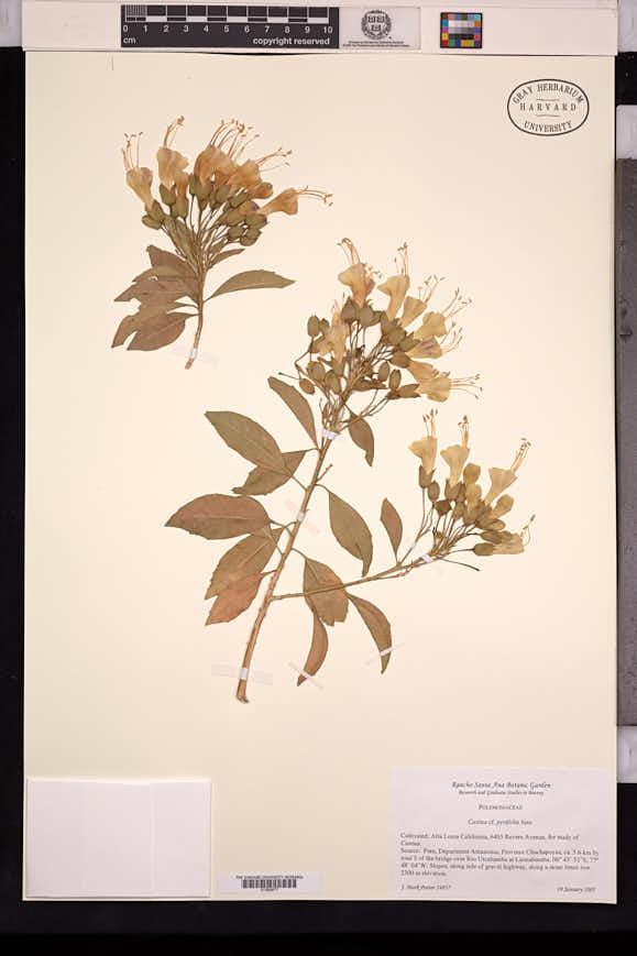 Image of Cantua pyrifolia