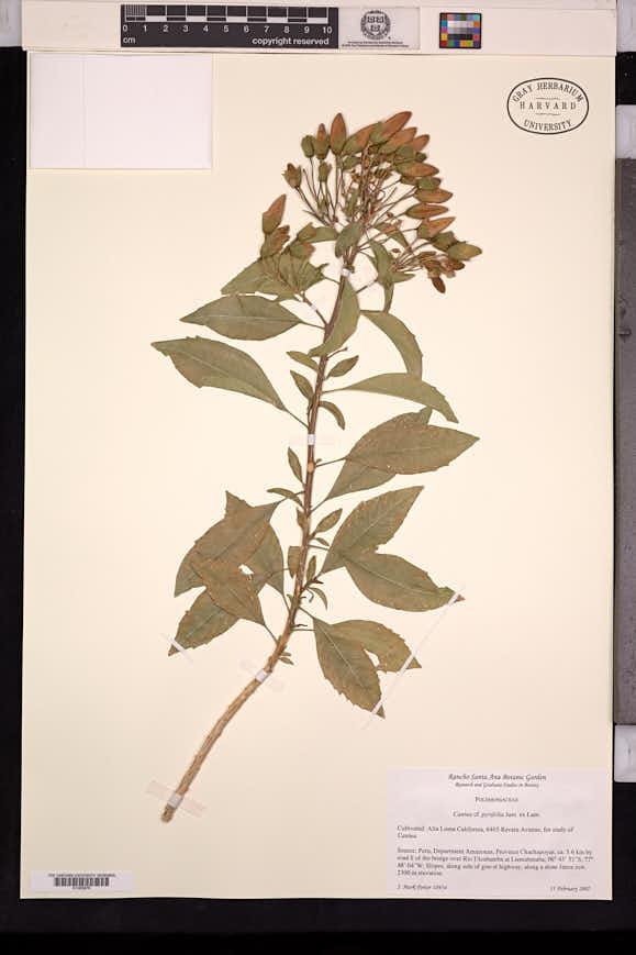 Cantua pyrifolia image