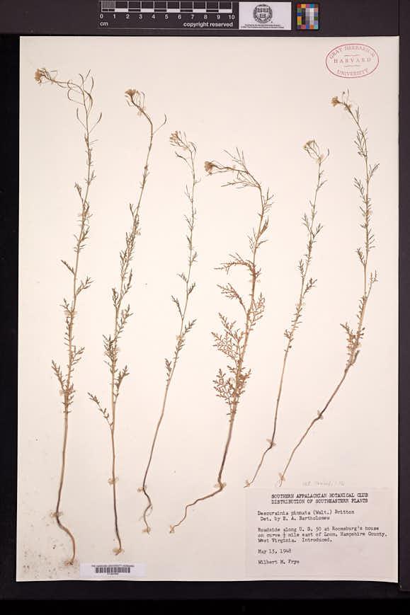 Descurainia sophia image