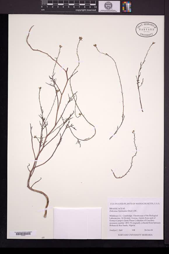 Image of Didesmus bipinnatus