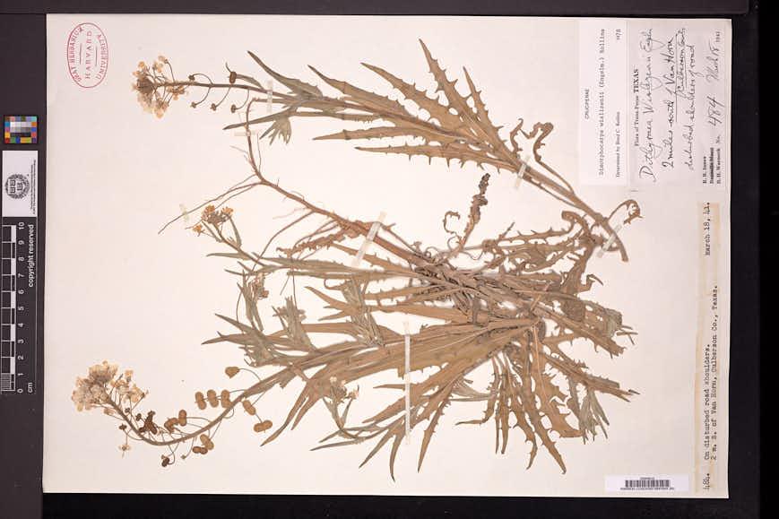 Dimorphocarpa wislizeni image