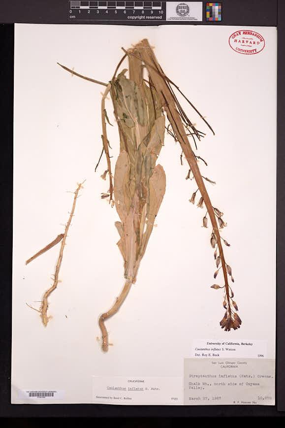 Caulanthus inflatus image