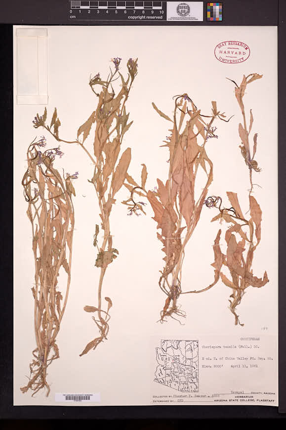 Chorispora tenella image
