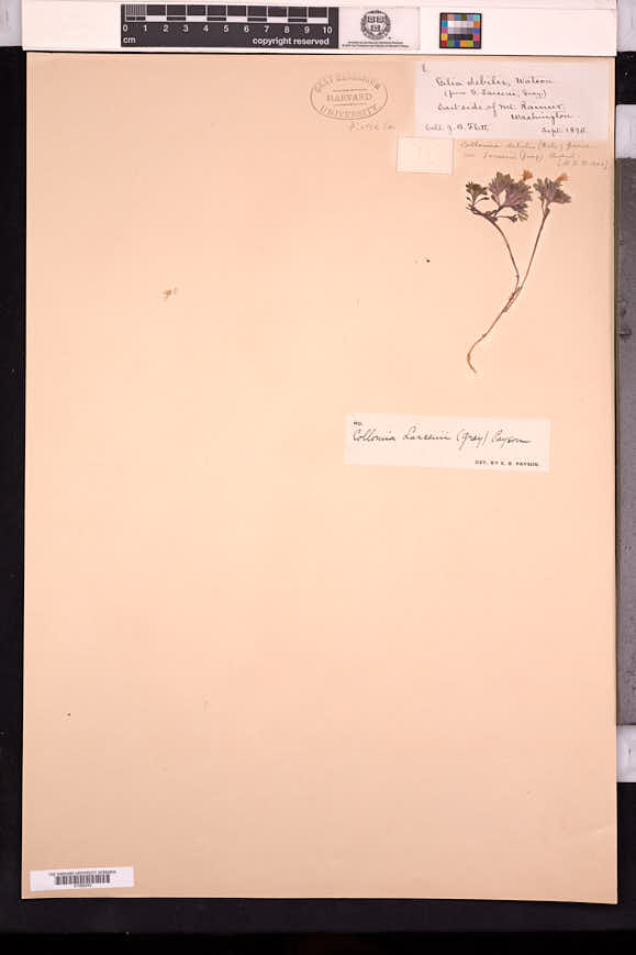 Collomia larsenii image