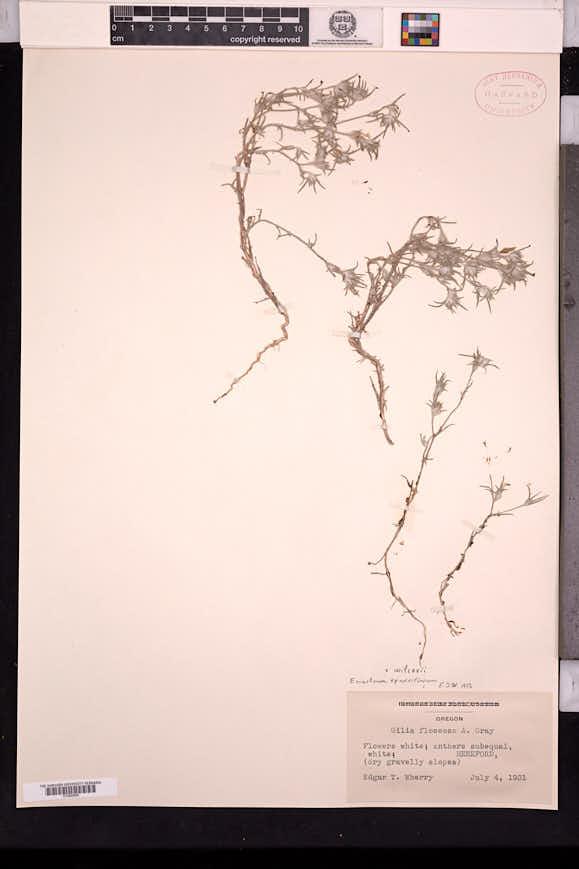 Eriastrum wilcoxii image