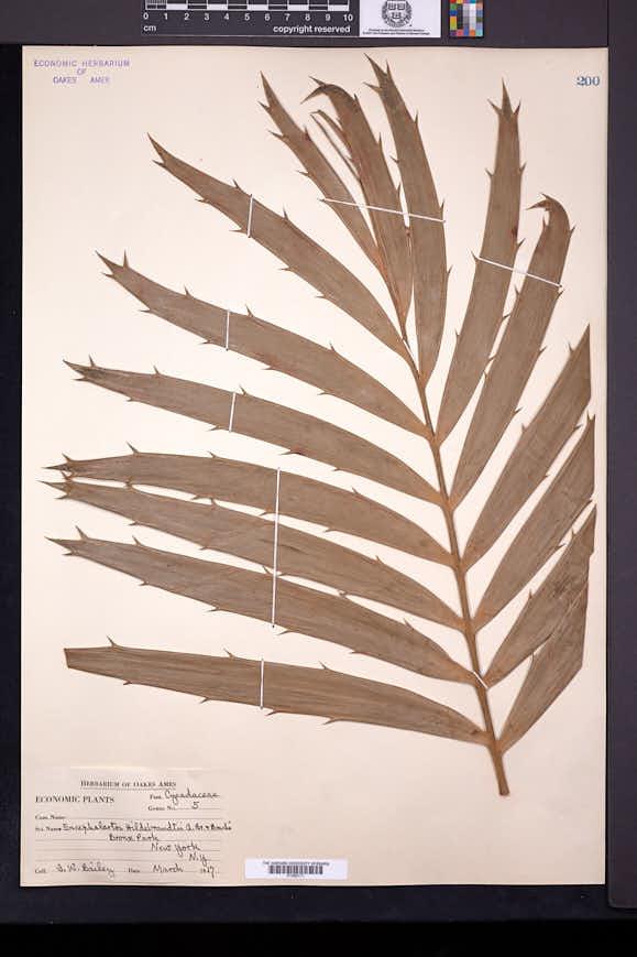 Image of Encephalartos hildebrandtii
