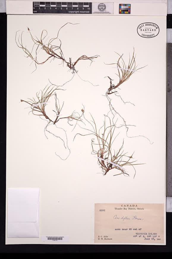 Carex deflexa image
