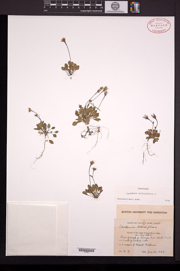 Cardamine bellidifolia image