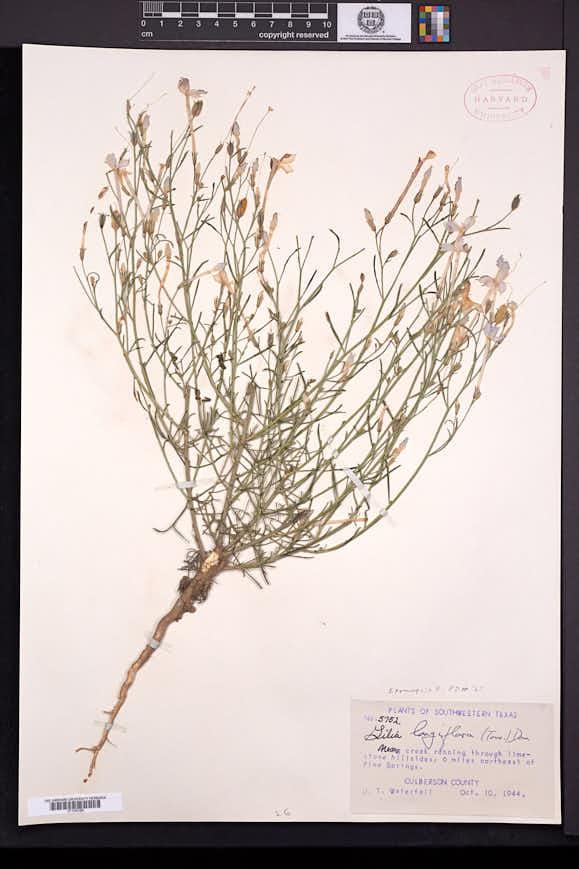 Ipomopsis longiflora image