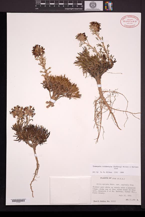 Ipomopsis spicata subsp. tridactyla image