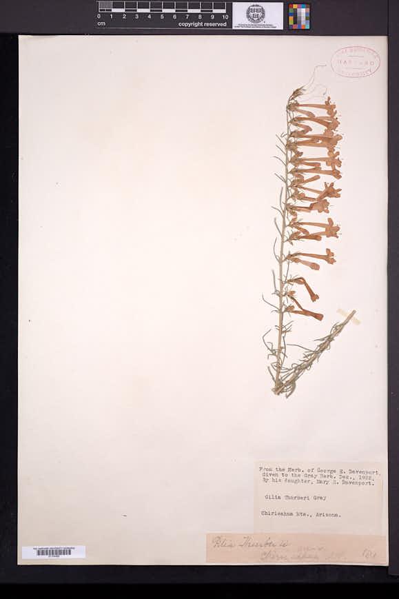 Ipomopsis thurberi image