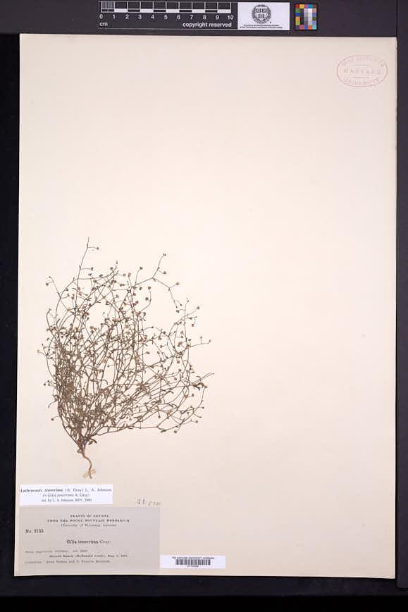 Lathrocasis tenerrima image