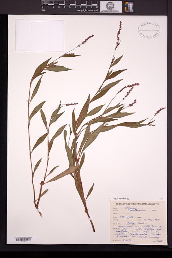 Image of Persicaria puritanorum