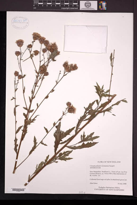 Cirsium palustre image