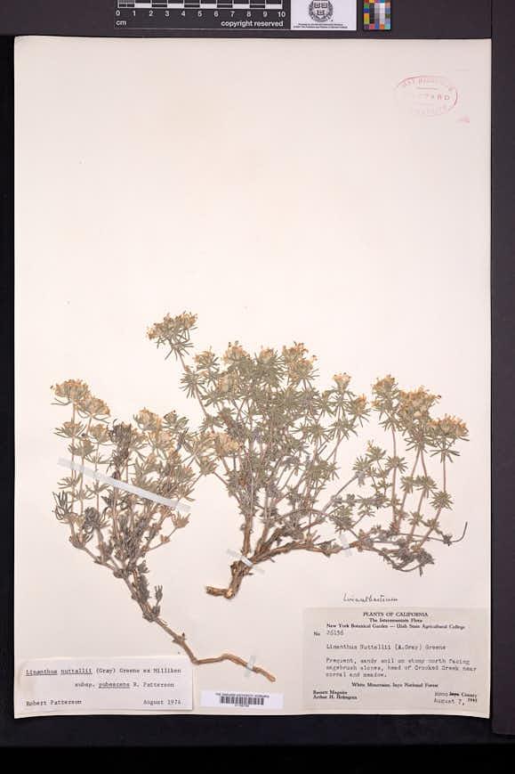 Linanthus nuttallii image