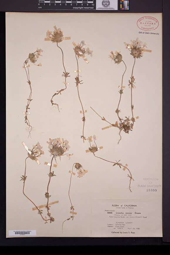 Image of Leptosiphon rosaceus