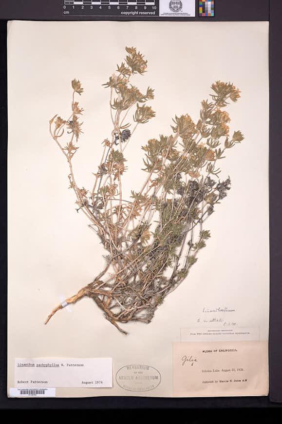 Leptosiphon pachyphyllus image