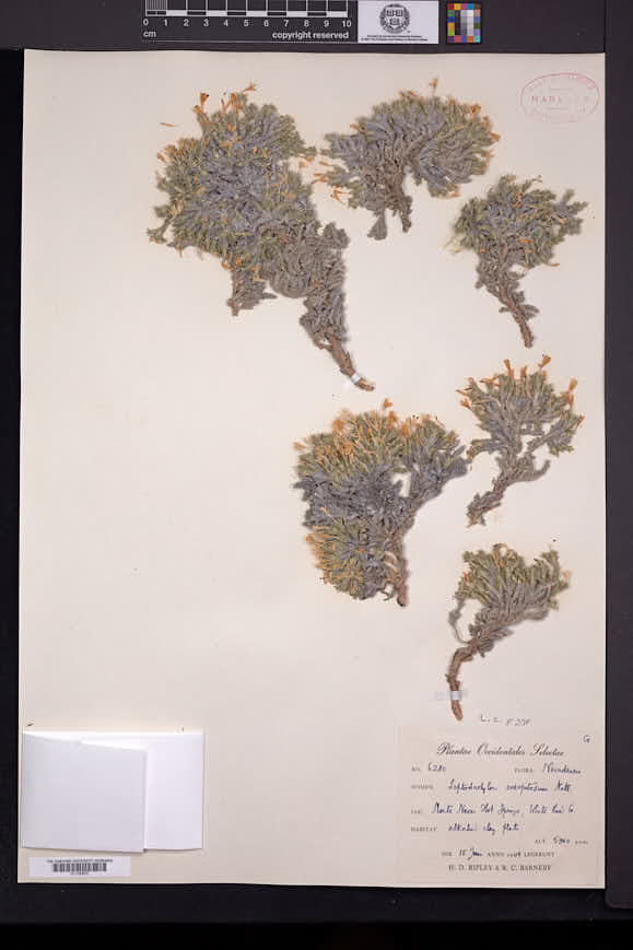 Image of Linanthus caespitosus