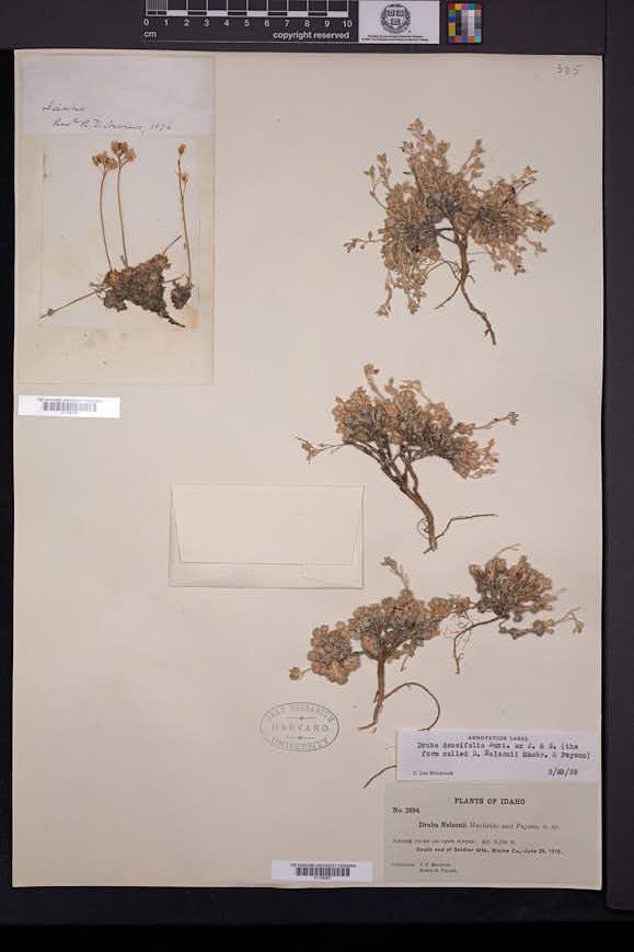 Draba densifolia image