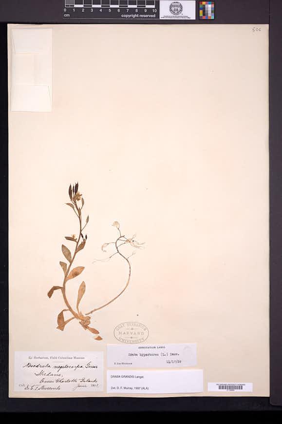Image of Draba grandis