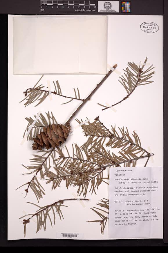 Pseudotsuga sinensis image
