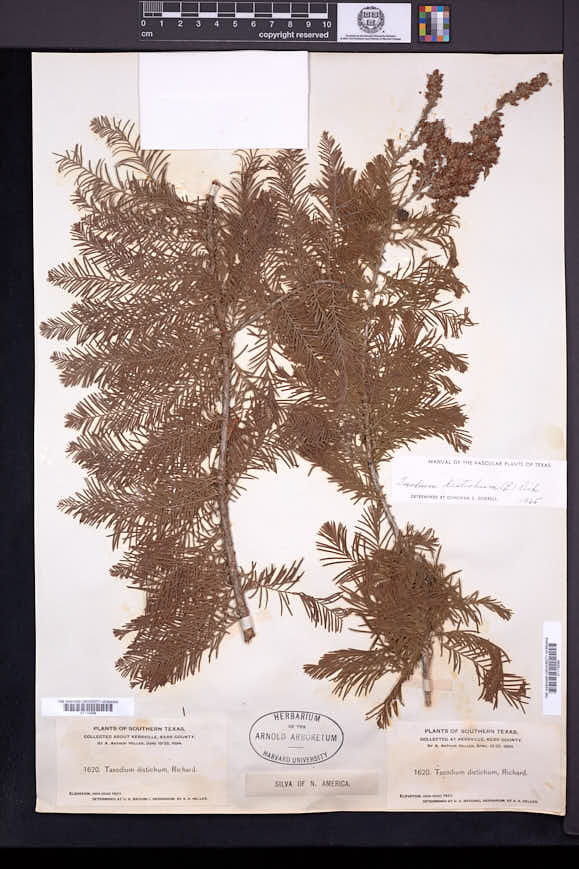 Taxodium distichum image