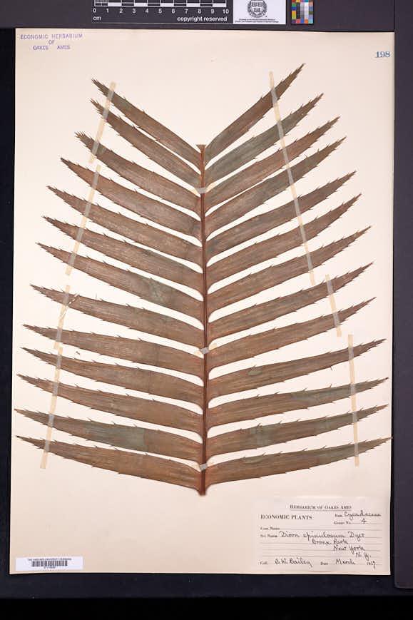 Dioon spinulosum image