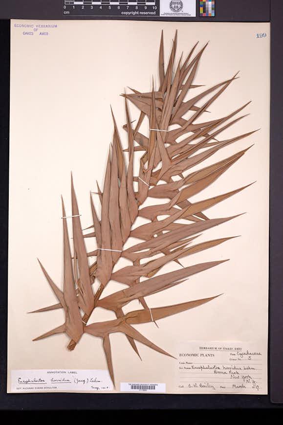 Image of Encephalartos horridus