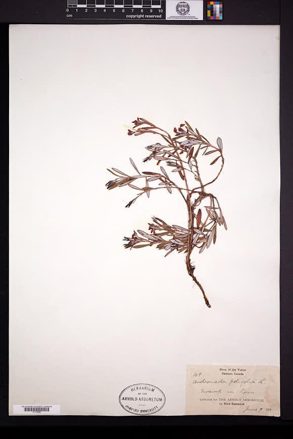 Andromeda polifolia image
