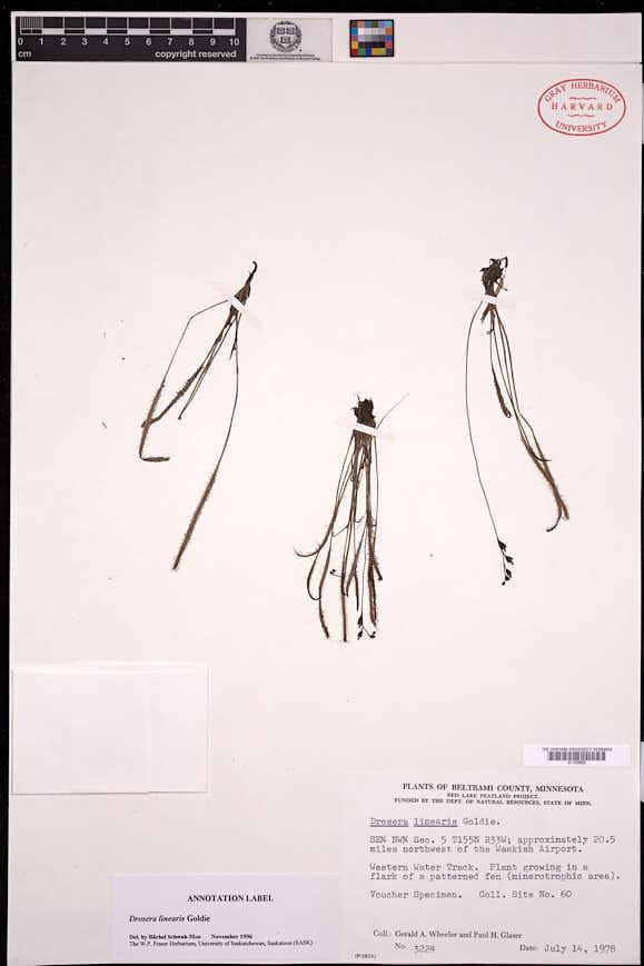 Drosera linearis image