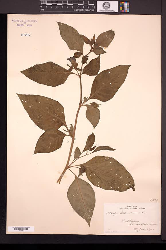 Atropa belladonna image