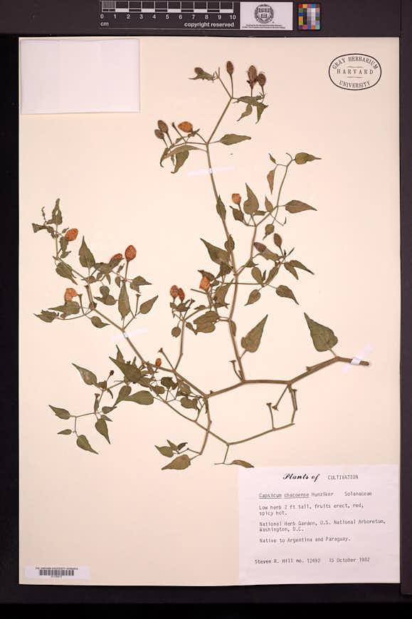 Capsicum chacoense image