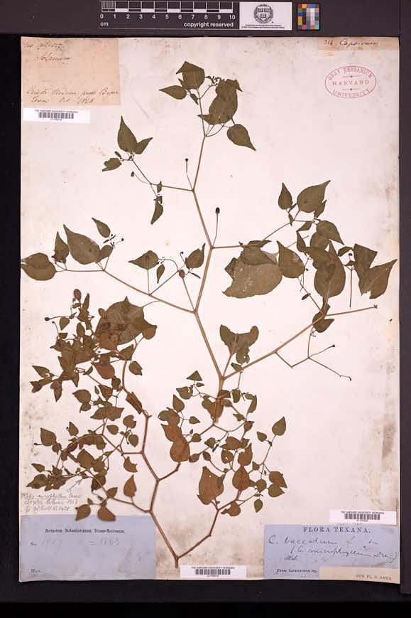 Capsicum microphyllum image