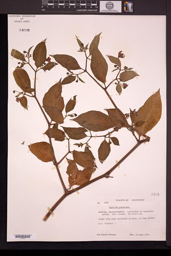 Capsicum pubescens image