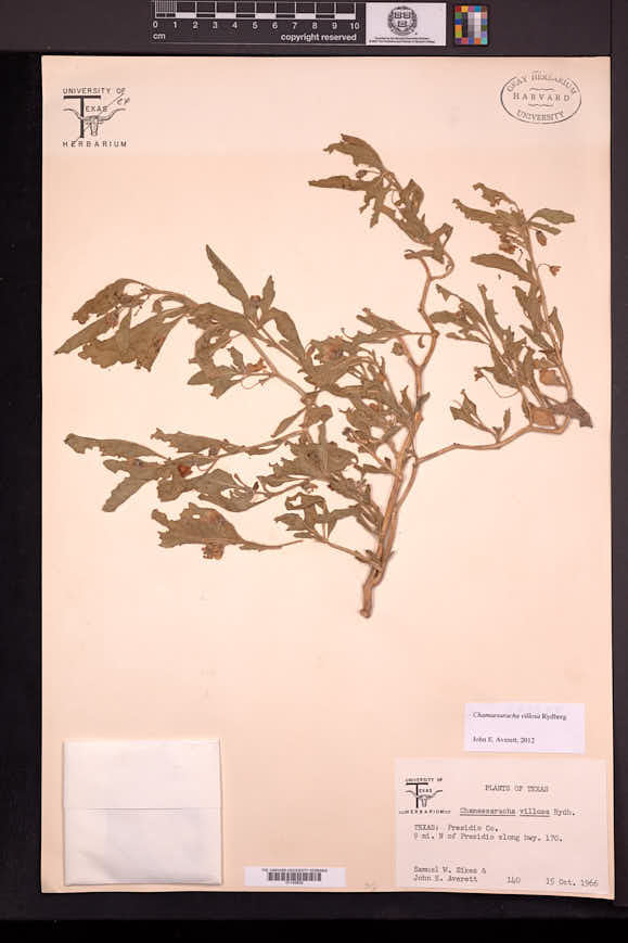 Chamaesaracha villosa image