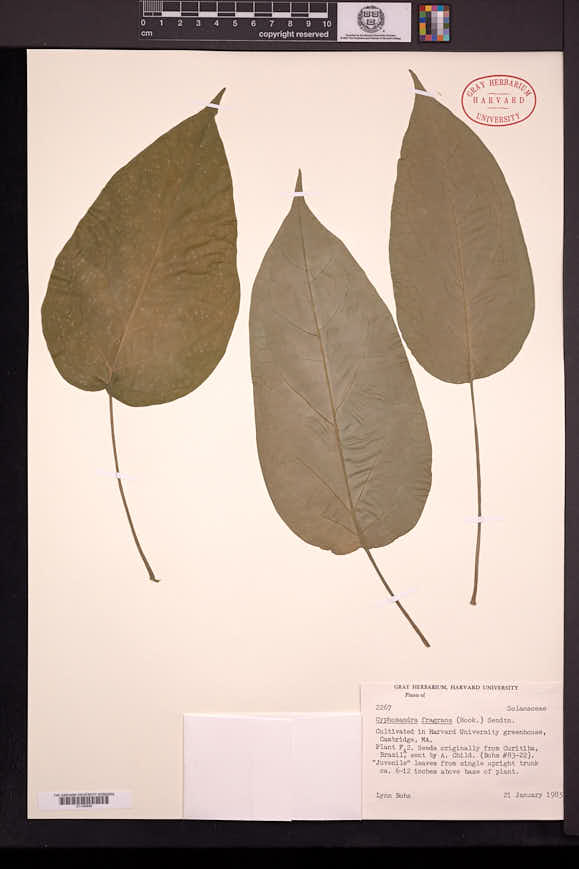 Image of Solanum diploconos