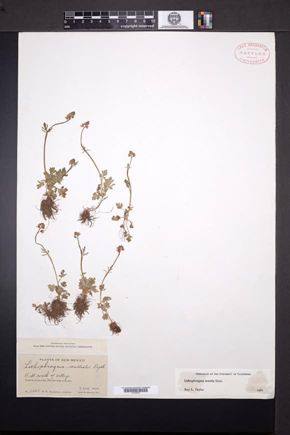 Lithophragma tenellum image