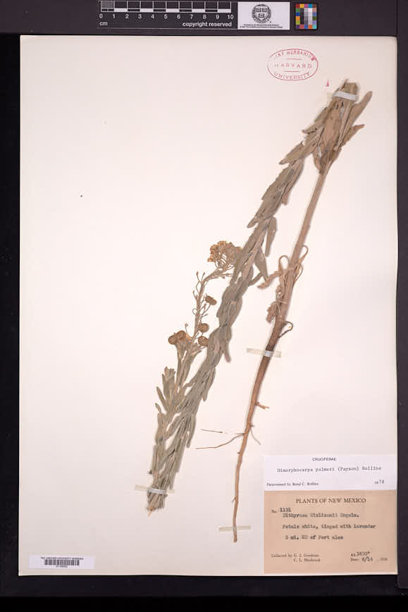 Dimorphocarpa candicans image
