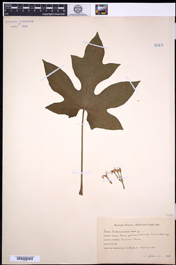 Carica pubescens image